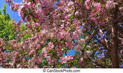 Blooming pink apple tree branches moving on the wind on the background of blue clear sky
