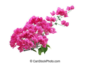 Blooming Pink Bougainvillea Flower branch isolated on white background