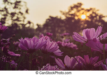 Blooming pink cosmos on field in sunset time