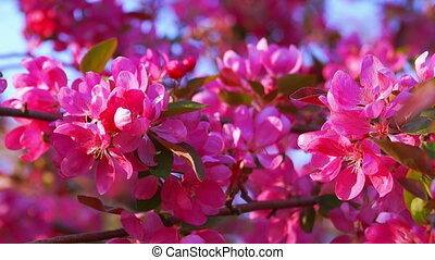 Blooming Pink Crab Apple Tree in the Spring Garden