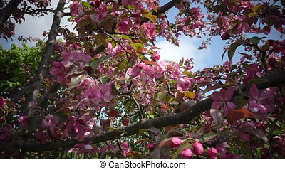 Blooming Pink Crab Apple Trees in the Spring Garden