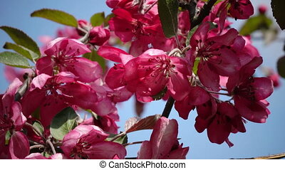 Blooming Pink Crab Apple Trees in the Spring Garden.