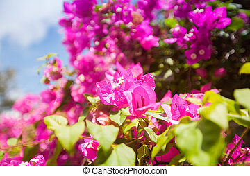 blooming pink flowers against blue sky