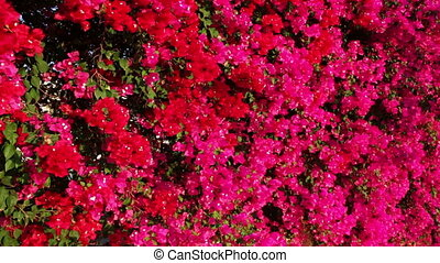 Blooming pink flowers on a fence - Exuberant blooming in...