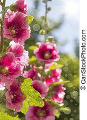 blooming pink hollyhock