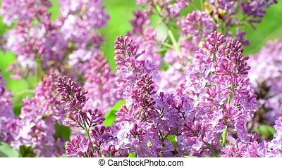Blooming pink lilac close-up. - A Blooming pink lilac close...