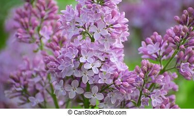 Blooming pink lilac close-up.