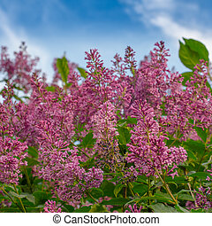 Blooming pink lilac flowers against the blue sky