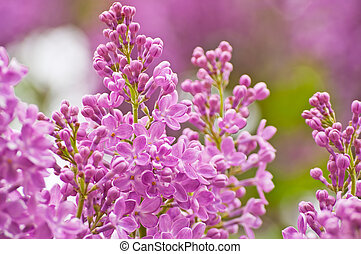 Blooming pink lilac flowers