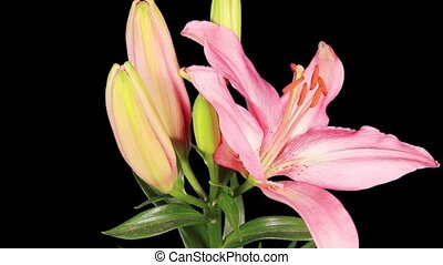 Blooming pink lily flower