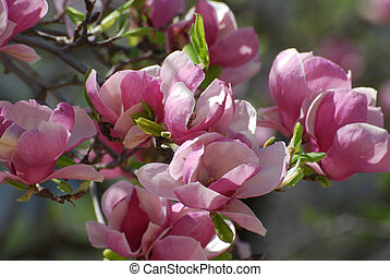 Blooming Pink Magnolia Tree in Early Spring