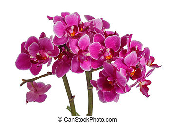 Blooming pink orchid with many flowers on a white background