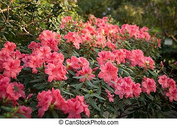 Blooming Pink Rhododendron (Azalea)