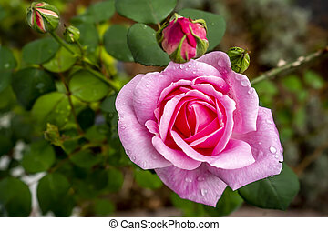 Blooming pink rose in the garden, close-up