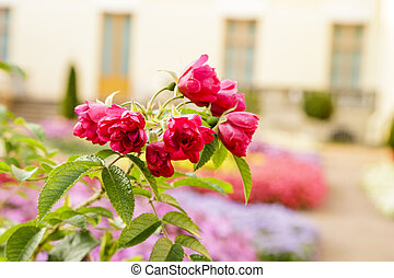Blooming pink roses bush. Soft focus floral photography. Shallow depth of field and blurred background with bokeh.