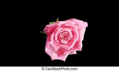 Blooming pink roses flower buds ALPHA matte, FULL HD. (Rose...