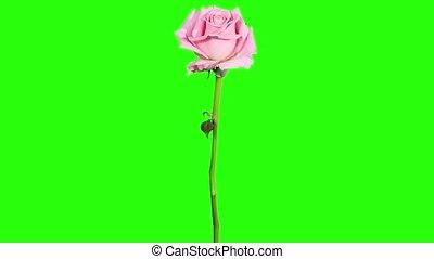 Blooming pink roses flower buds green screen, FULL HD. (Rose...
