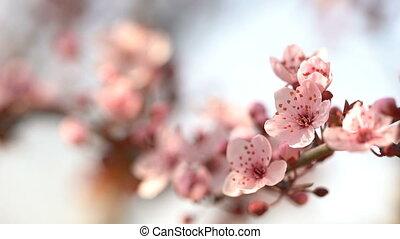 Blooming pink sakura - Beautiful sakura. Flowering pink...