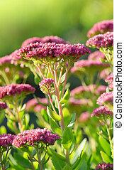 Blooming plant Sedum prominent in garden.