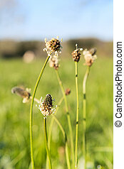 Blooming plantago in nature