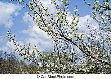 Blooming plum 6