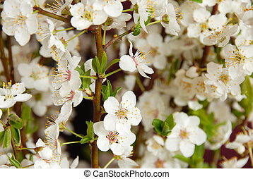 Blooming plum flowers background