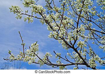 Blooming plum tree 6