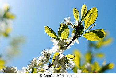 Blooming plum tree in sunlight