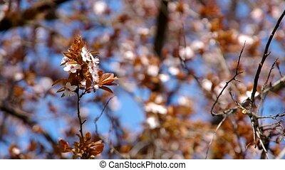 Blooming plum tree in the wind.