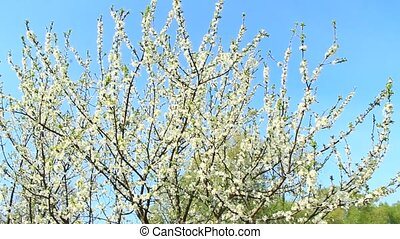 Blooming plum tree, plum-tree branch covered with white flowers and foliage