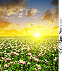 Blooming poppy field at sunset sky.