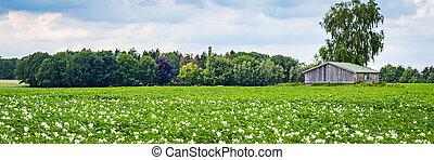 Blooming potato field