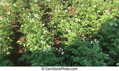 Blooming Potato Fields growing plants - Blooming Potato...