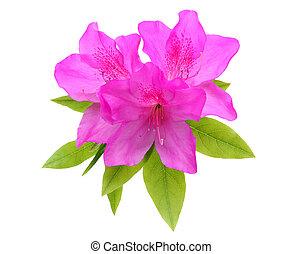 azalea flower - blooming purple azalea flower isolated on...