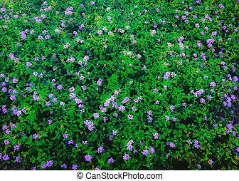 blooming purple flowers garden with green leaves