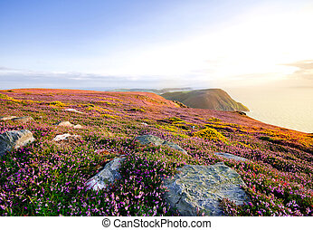 Blooming Purple Heather, Cliffs and Sea. Isle of Man -...