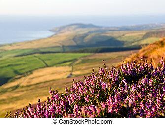 Blooming Purple Heather, Fields, sea. Isle of Man