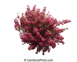 blooming purple heather top view isolated on white background