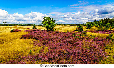 Purple Calluna Heathers alongside the desert of Beekhuizerzand on the Veluwe in the Netherlands in the province of Gelderland. It is the largest sanddrift area in Europe