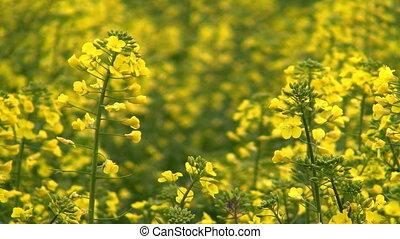 Blooming raoeseed field
