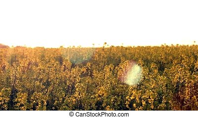 Blooming rapeseed field at sunset