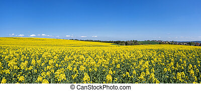 Blooming rapeseed field in hilly landscape - panorama