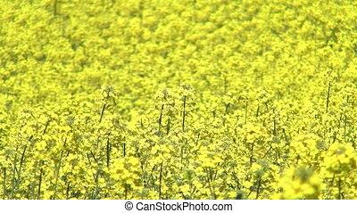 Blooming rapeseed