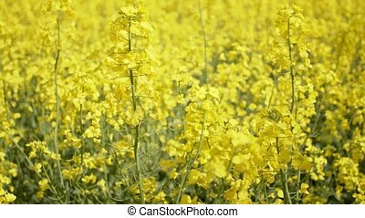 Blooming rapeseed or canola field. Close up view on rape ...