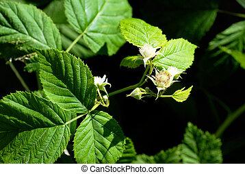 Blooming raspberry plant