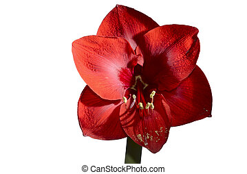 blooming red amaryllis on white background