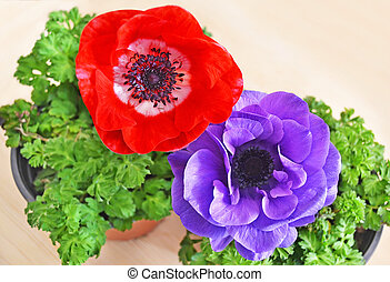 blooming red and purple anemones in flower pots