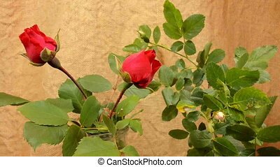 Blooming red and white rose, timelapse footage. Close up,...