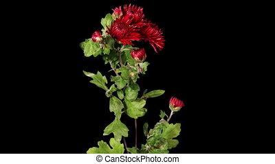 Blooming red chrysanthemum flower buds ALPHA matte, Full HD....