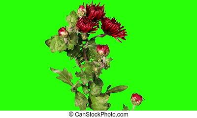 Blooming red chrysanthemum flower buds green screen, Full...